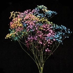 Гипсофила Разноцветная фото