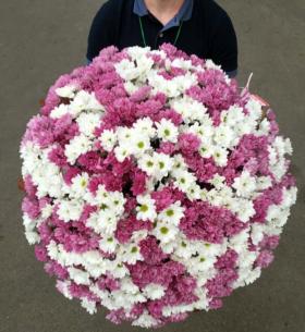 101 Бело-Фиолетовая Хризантема фото