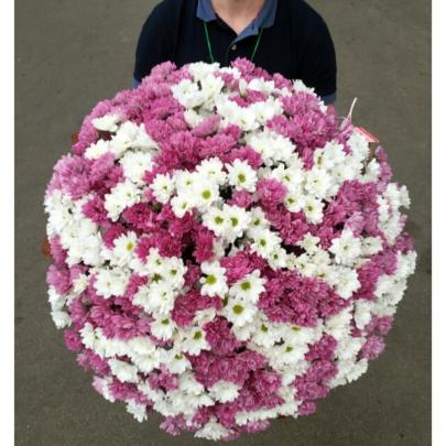101 Кустовая Бело-Розовая Хризантема фото
