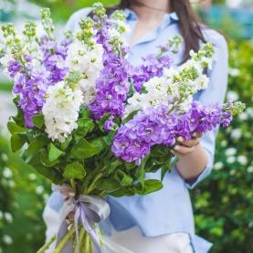 11 Белых и Фиолетовых Маттиол фото