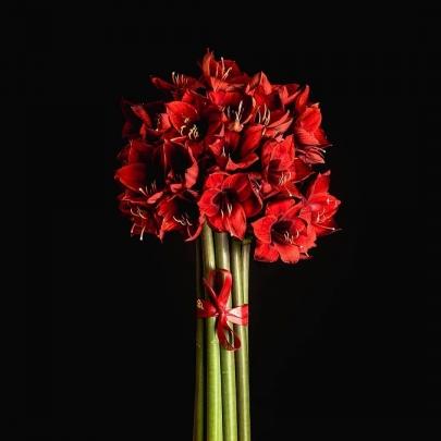 11 Красных Амариллисов фото