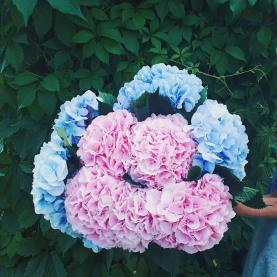 11 Розовых и Голубых Гортензий фото