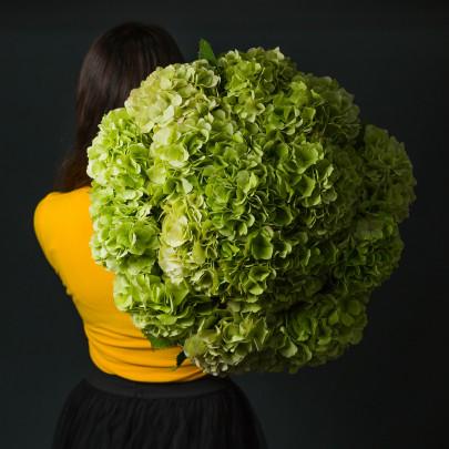 15 Зелёных Гортензий фото