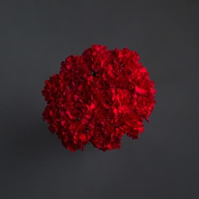 15 Красных Гвоздик фото