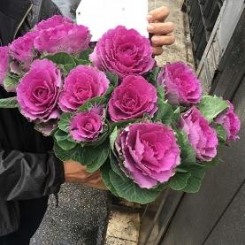 15 Розовых Брассик фото