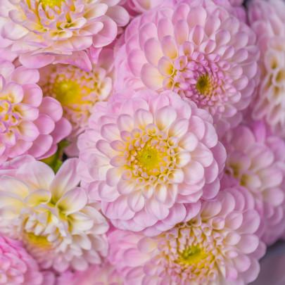 17 Розовых Георгин фото