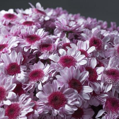 25 Светло-Сиреневых Хризантем Кустовых фото