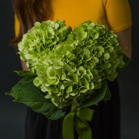 3 Зелёные Гортензии фото