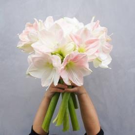 5 Бело-Розовых Амариллисов фото