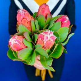 5 Розовых Grandiceps фото