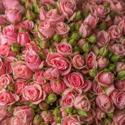 51 Розовая Роза Кустовая (50/60 см.) фото