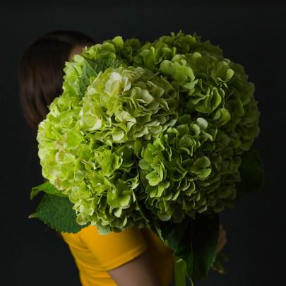 7 Гортензий Зеленых фото