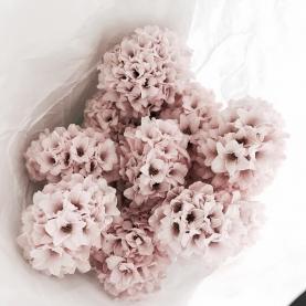 9 Розовых Гиацинтов фото