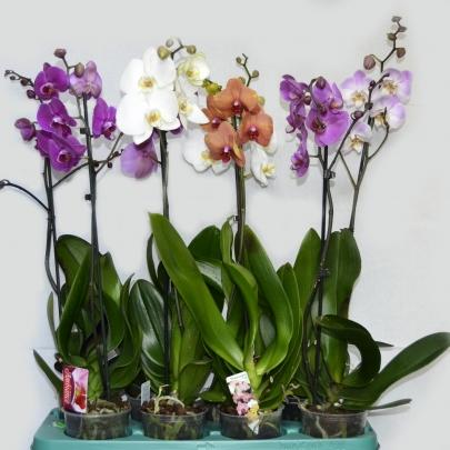 Орхидея Фаленопсис в горшке 12/70 (1 ветка) фото