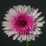 Гербера Бело-Розовая Пушистая