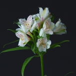 Альстромерия Белая