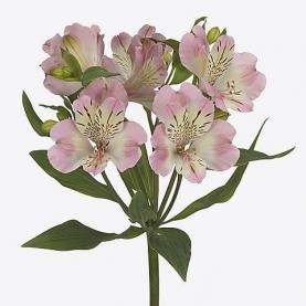Альстромерия Бело-Розовая фото