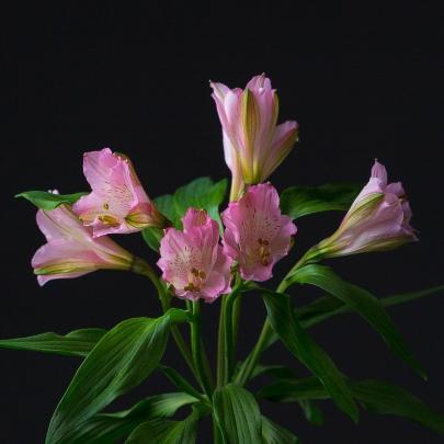 Альстромерия Бледно-Розовая фото