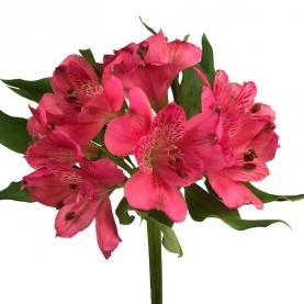 Альстромерия Ярко-Розовая фото