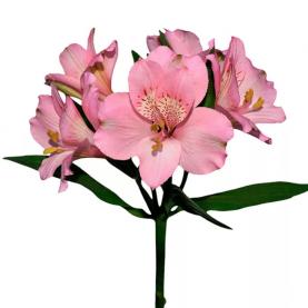 Альстромерия Розовая фото