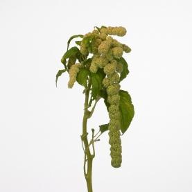 Амарантус Зеленый