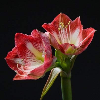Амариллис Красно-Белый фото