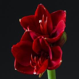 Амариллис красный фото