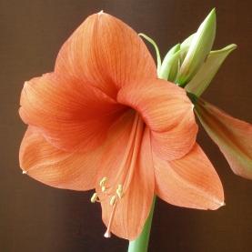 Амариллис Оранжевый фото