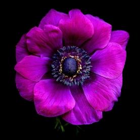 Анемон Фиолетовый фото