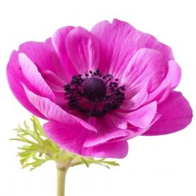 Анемон розовый фото