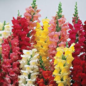 Антирринум Разноцветный фото