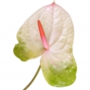 Антуриум Бело-Зеленый