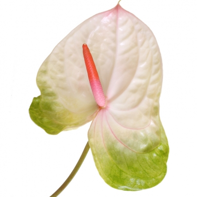 Антуриум Бело-Зеленый фото