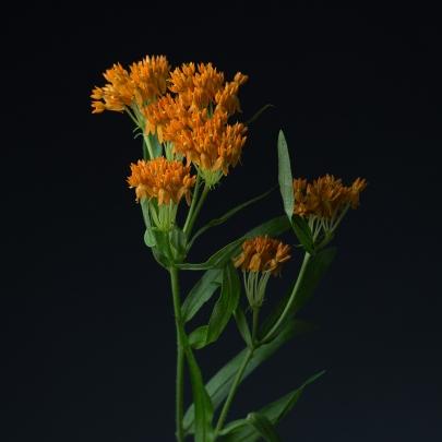 Асклепия Оранжевая фото