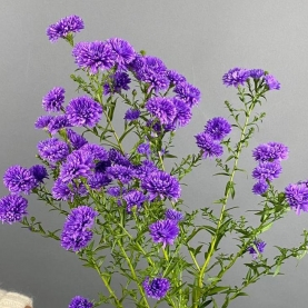 Астер Фиолетовый фото