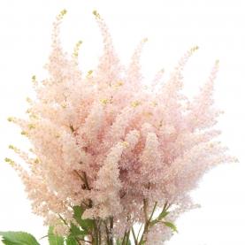 Астильба Нежно-Розовая фото