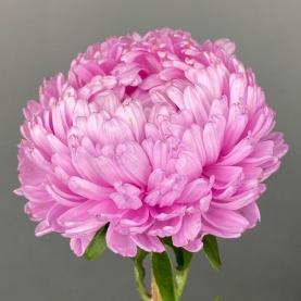 Астра Розовая Пионовидная фото