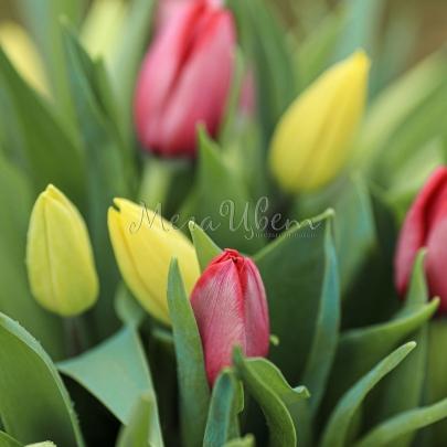 51 Красно-Желтый Тюльпан фото