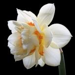 Нарцисс Белый Махровый