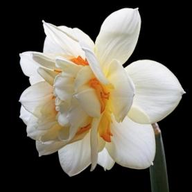 Нарцисс Белый Махровый фото