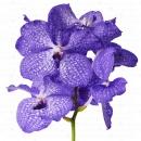 Орхидея Ванда 60см