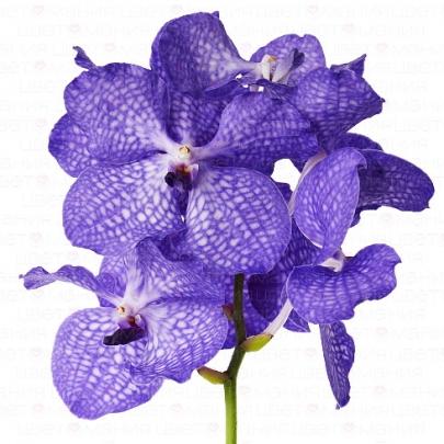 Орхидея ванда фото