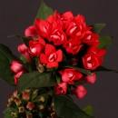 Бувардия (Royal Red)