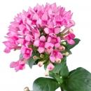 Бувардия Розовая