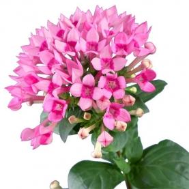 Бувардия Розовая фото