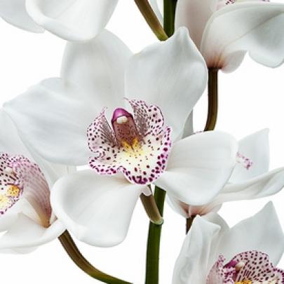Орхидея Цимбидиум Белая фото