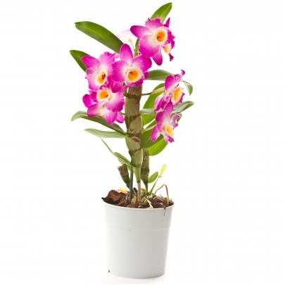 Орхидея в горшке Дендробиум