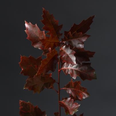 Дуб Красный Декоративный фото