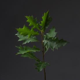 Дуб Зеленый Декоративный фото