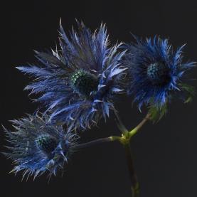 Эрингиум Синий фото